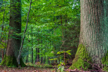 yellowish green: Forest in Europe in Late September  Deciduous forest with leaves on the ground  Warm yellowish green color in the woods on a warm sunny morning Stock Photo