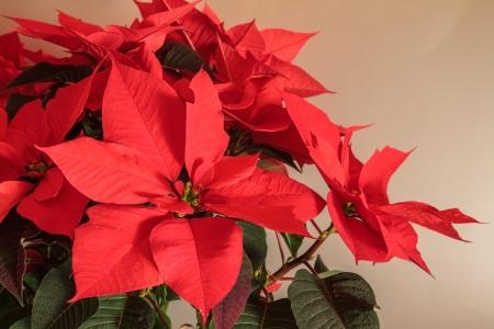 Poinsettia, Kerstster, Euphorbia pulcherrima planten Stockfoto