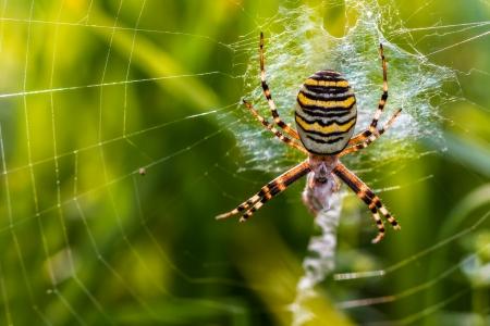 Wesp spin met prooi Macro Foto van een wesp spin in zijn net met een sprinkhaan als prooi, die in Noord-Beieren, Duitsland Stockfoto