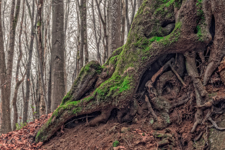 nature picture: Amazing Forrest Roots  Lovely Nature Picture of an European Forest in Autumn Bavaria, Germany  Spooky and Creepy Atmosphere