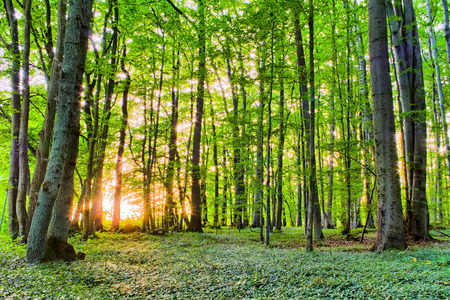 Spring Forrest Sunset behind the trees  Fresh green colors  Rocks and Trees and green vegetation on the ground  Lovely Woods of Franconia