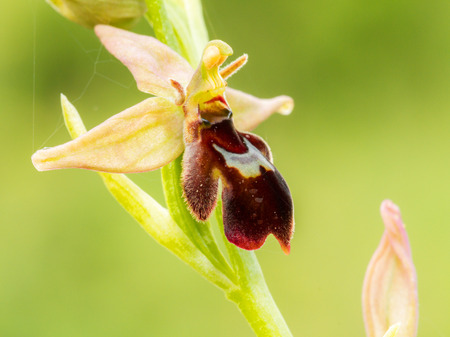 Wild extremely rare Spider Bee Orchid Plant in Bavaria, Germany photo