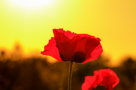 Red Summer Sunset Poppy Flower photo