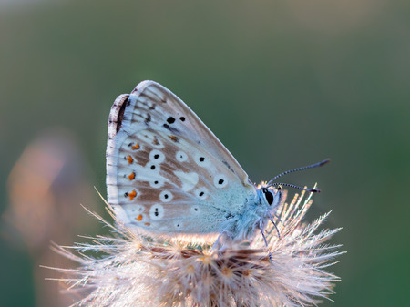 gossamer: Blue Gossamer winged Butterfly in the evening sun with blurred background