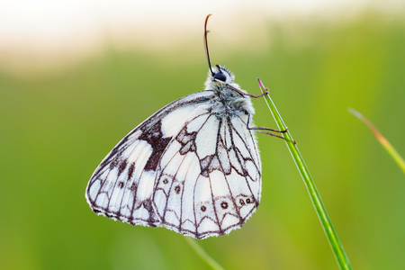 Marbled White Butterfly in the evening sun in Bavaria photo