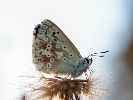 Blue Gossamer winged Butterfly in the evening sun with blurred background photo