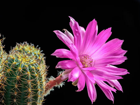 Macro of a blooming Lobivia winteriana in front of a black background. Purple Cactus flower Standard-Bild