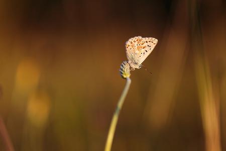 gossamer: Blue Gossamer winged Butterfly in the evening sun with blurred background. Intended Blurredness. Lovely Bokeh