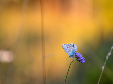 Blue Gossamer winged Butterfly in the evening sun with blurred background. Intended Blurredness. Lovely Bokeh photo