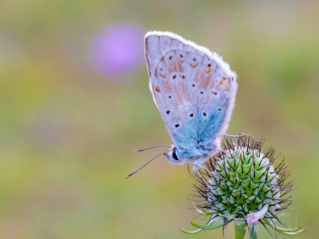 lycaenidae: Blue Gossamer winged Butterfly in the morning sun with blurred background Stock Photo