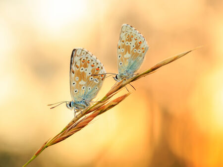 Blue Gossamer winged Butterfly in the morning sun with blurred background photo