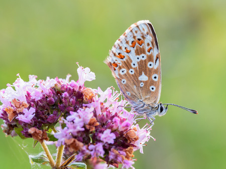 gossamer: Blue Gossamer winged Butterfly in the morning sun with blurred background Stock Photo