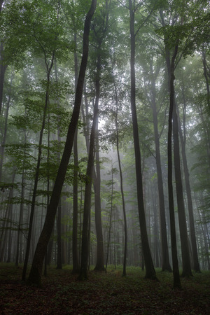 Enchanted Foggy Summer Forrest in the Bavarian Countryside Forest. photo