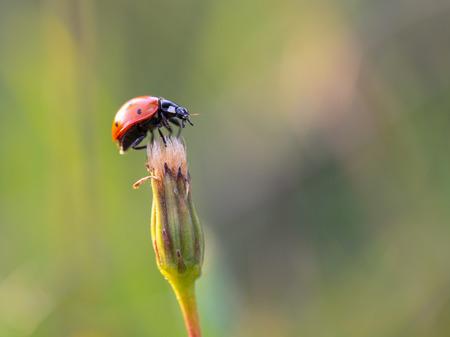 Ladybug on a summer flower. Intended Blurredness and Vignette. Lovely vibrant colors photo