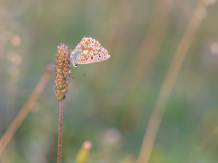gossamer: Blue Gossamer winged Butterfly in the evening sun with blurred background. Intended Blurredness