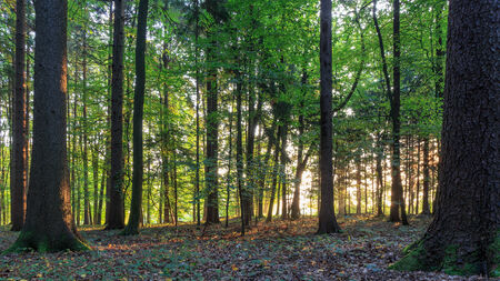 Enchanted Summer Morning Forrest in Germany. Sunrays shining through the woods photo