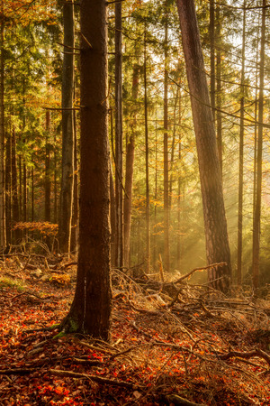 Black Forest in Germany. Orange Evening Sun shines through the golden foggy Woods. Magical Autumn Forrest. Colorful Fall Leaves. Romantic Background. Sunrays before Sunset