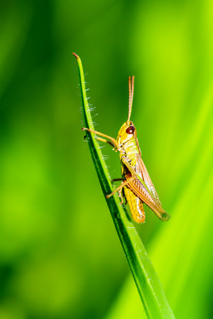 Grasshopper on a blade of grass Standard-Bild