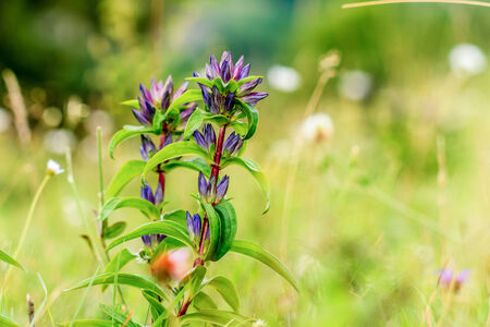 gentian flower: Lovely Cross Gentian in a bavarian meadow