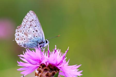 gossamer: Blue Gossamer Winged Butterfly on a flower