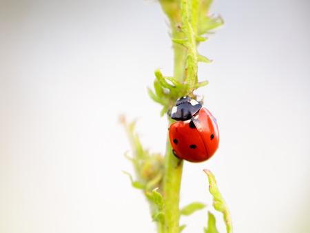 intended: Ladybug on a summer flower. Intended Blurredness and Vignette. Lovely vibrant colors Stock Photo