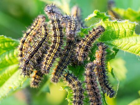 voracious: Voracious Caterpillars on a green leaf in rural Bavaria