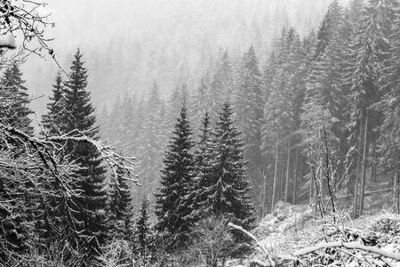 baden wurttemberg: Winter Forest. German Black Forest, Black and White Picture. Heavy Snow