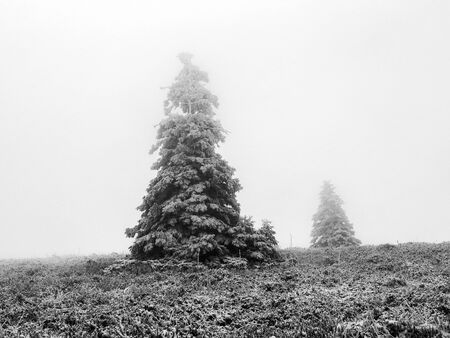 a blizzard: Winter on the Feldberg Mountain in the German Black Forest during a Blizzard. Lonely Trees with snow.