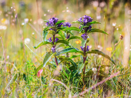 gentian flower: Pink Autumn Wild Gentian Flower. Soft Green Bokeh. Several upwards blossoms Stock Photo