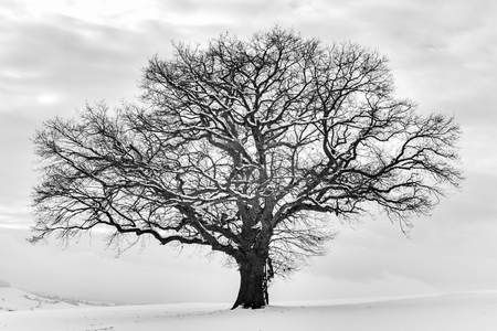 forlorn: Lonely Winter Tree. Sweet Solitude. Cold and Cloudy day with much snow in the black forest region of Germany Stock Photo