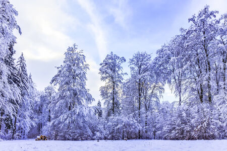 Blue Winter Forrest. Trees with snow in the black forest of Germany, glowing blue in the blue afternoon sky. Cold and fresh air photo