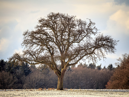 forlorn: Lonely Winter Tree. Sweet Solitude. Cold and Cloudy day with much snow in the franconian Jura region of Bavaria Stock Photo
