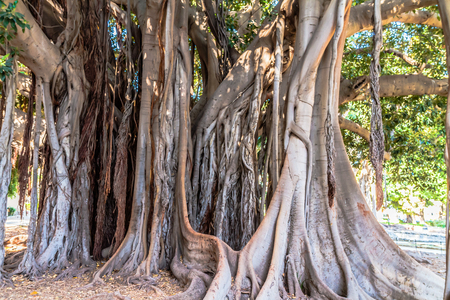 palermo: Old Trees in Palermo, Italy on a hot summer day