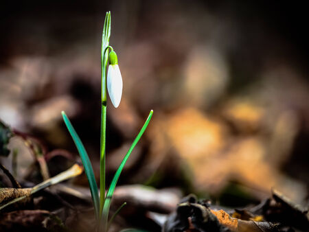 harbinger: Harbinger of Spring. Lovely white and wild Snowdrop Flower in February in a german forest Stock Photo