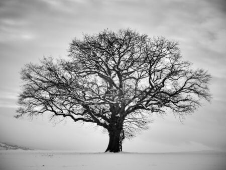 Lonely winter tree. Sweet Solitude. Cold and Cloudy day with much snow in the black forest region of Germany photo