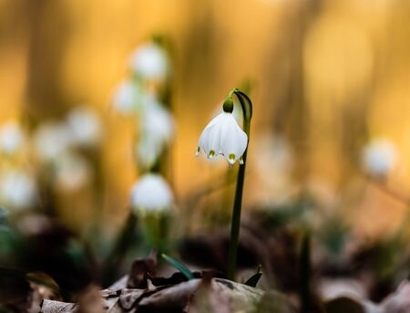 Lovely white and wild Snowflake Leucojum Flower in early march in a german forest. photo