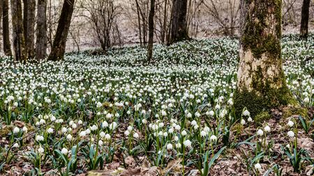 Lovely white and wild Snowflake Leucojum Flowers in early march in a german forest. Lovely Bokeh and intentional blur. photo