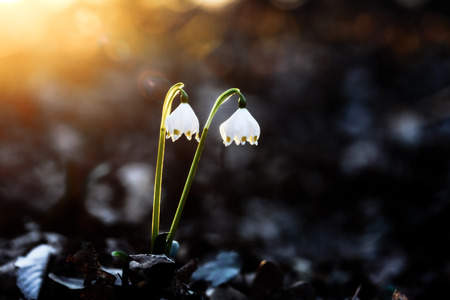 Herald of Spring. Lovely white and wild Snowflake Leucojum Flower in early march in a german forest. Lovely Bokeh and intentional blur. Forrest Background with old fallen leaves photo