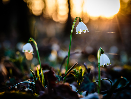 strong light: Herald of Spring. Lovely white and wild Snowflake Leucojum Flower in early march in a german forest. Lovely Bokeh and intentional blur. Forrest Background with old fallen leaves. Flower against sunset. Strong Light and Shadows. Warm bright light