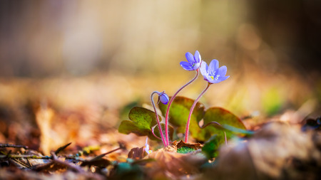 Purple Liverleaf Flower in the Black Forrest of Germany, Europe. Wild Hepatica Buttercup Flower. Lovely vibrant colors. Soft Bokeh. Early Spring Flower photo