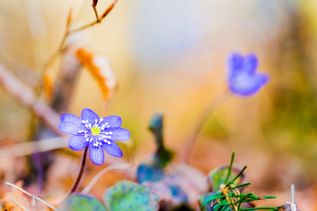 buttercup flower: Purple Liverleaf Flower in the Black Forrest of Germany, Europe. Wild Hepatica Buttercup Flower. Lovely vibrant colors. Soft Bokeh. Early Spring Flower