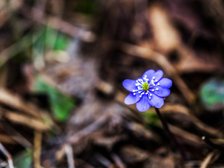 buttercup flower: Purple Liverleaf Flower in the Black Forrest of Germany, Europe. Wild Hepatica Buttercup Flower. Lovely vibrant colors. Soft Bokeh. Early Spring Flower. Macro with very shallow depth of field Stock Photo