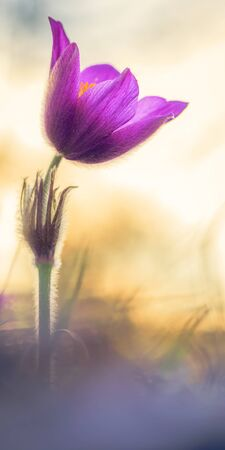 calcareous: Purple Pasque Flower. Spring flower on calcareous dry meadow. soft little white hair. Rare endangered wildflower. Soft and Lovely bokeh Stock Photo