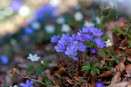 flowers bokeh: Blue Spring Flowers in a Forest