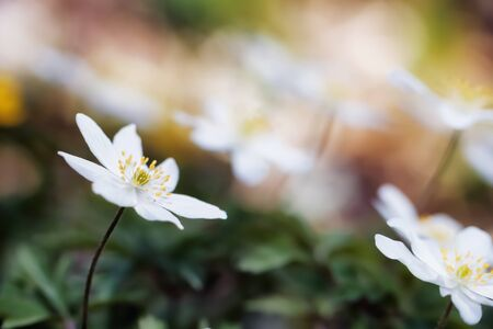 Lovely white anemone flower in the forest. Soft bokeh and very shallow depth of field. Spring Flower on a wam day photo