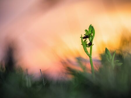 mimicry: Wild Spider Orchid. Rare Mimicry Orchid with spider pattern. Evening Picture with setting sun. Macro Image. Soft Bokeh with very shallow depth of field