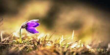 pasqueflower: Wild Purple Pasqueflower. Macro with very shallow depth of field. Early Spring Flower Stock Photo
