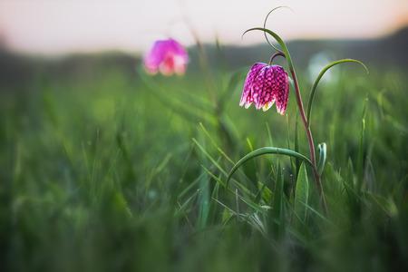 Endangered selvaggio Scacchi fiore su un prato in Franconia, Germania. Bella Chequered serpenti Testa Giglio su una sera di primavera. Macro con profondità di campo Archivio Fotografico - 39706837