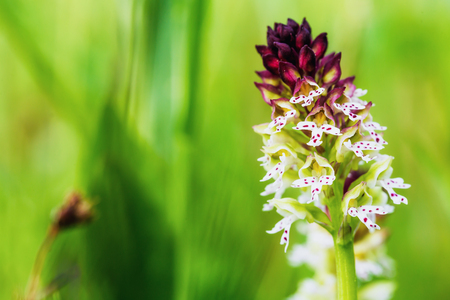 plantlife: Lovely Wild White and Red Burnt Orchid Flower in Upper Franconia, Germany. Rare Spring Flower. Macro with shallow depth of field