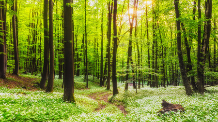 Spring Forrest. Fresh Green Woods in Franconia, Germany. Blooming wild garlic.